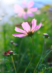 close up of pink cosmos flowers field with  flare light behind a