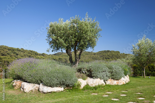 Foto op Aluminium Olijfboom Olive tree in the field against clear blue sky