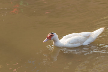 white Muscovy Duck swimming in the canal