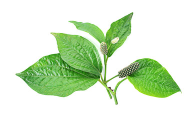 Betel leaf isolate on white background