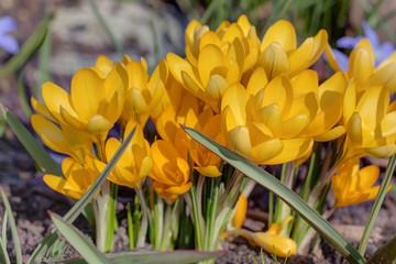 yellow crocuses close up