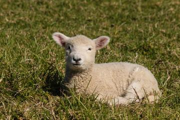 little lamb resting on grass