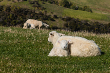 ewe with lamb resting on fresh meadow
