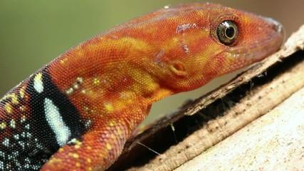 Collared Gecko (Gonatodes concinnatus), male