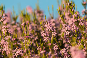 pink heather flowers against blue sky