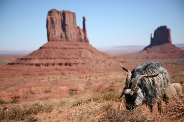 Sheep grazing in Monument Valley