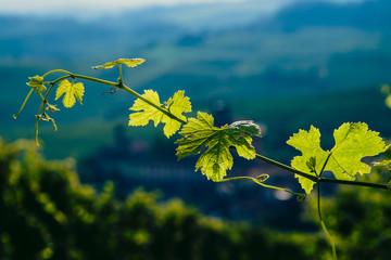 Ramo e foglie di vite