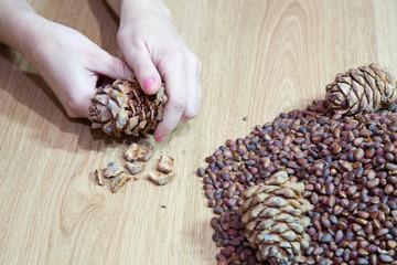 woman takes nuts from cedar cones