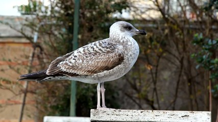 Mottled plumage seagull standing on a pole