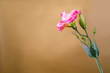 a pink eustoma on gold background