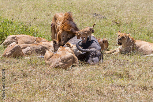 Aluminium Buffel Lions Feeding