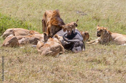 Fotobehang Buffel Lions Feeding