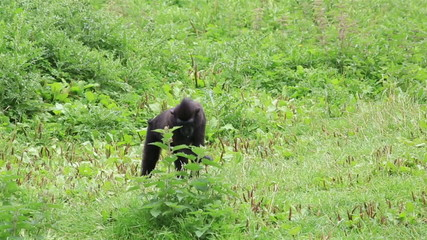 Sulawesi crested macaque eating grass.