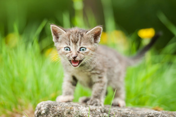 Little kitten meowing outdoors