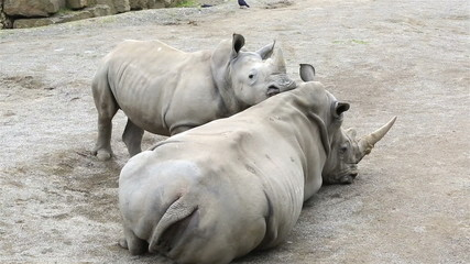 Cub Southern White Rhinoceros woke up his mother.