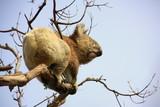 Koala climbing