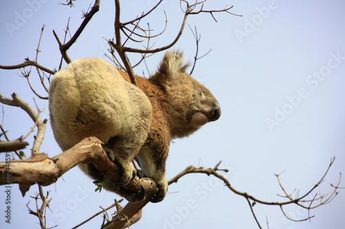 Fotobehang Koala Koala climbing