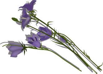 isolated lilac bellflowers illustration