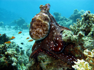 coral reef with octopus at the bottom of tropical sea