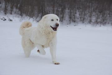 Pastore maremmano corre sulla neve