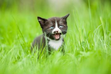 Little kitten meowing in the grass