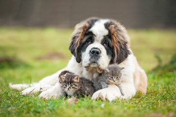 Saint bernard puppy with little kittens