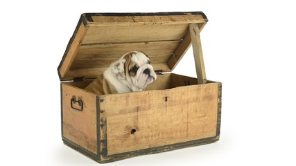 English Bulldog puppy in a wooden chest