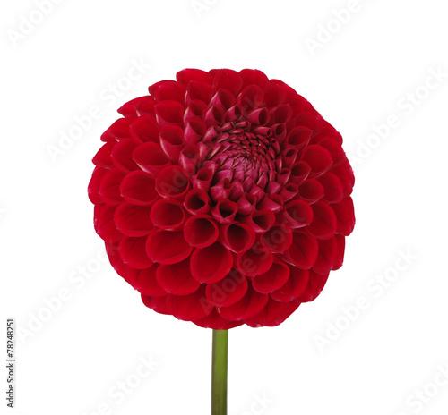 Fotobehang Dahlia dahlia flower