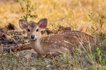 Young Hog deer (Cervus porcinus) stair at us
