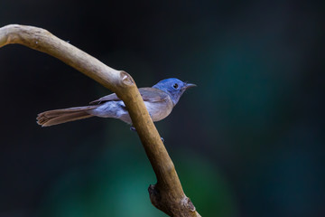 Female Black-naped monarch or black-naped blue flycatcher