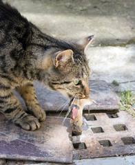 cat carries a mouse in his mouth