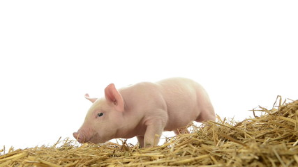 Piglet standing in straw
