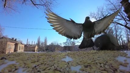Super Slow Video. pigeon