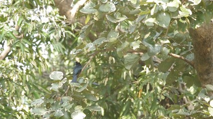 Greater Racket-tailed Drongo is resting on the tree