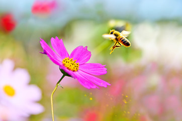 A honeybee flying from a flower with some pollen spraying.