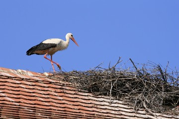 White stork walks to his nest on the house roof