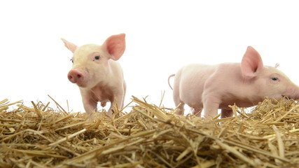 Piglets standing in straw