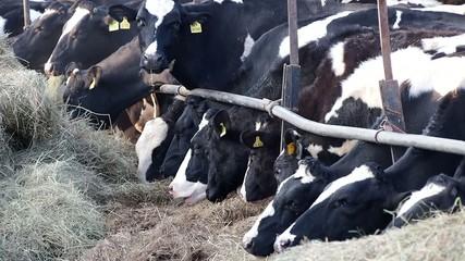 Kühe fressen Heu