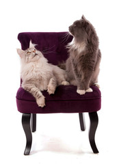 chats Main coon sur un fauteuil bordeaux