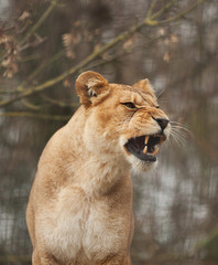 Barbary lioness 10464