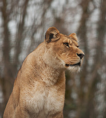 An alert Barbary lioness 10448