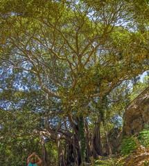 Ficus magnolioides,Syracuse.