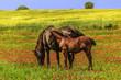 Paesaggio primaverile:cavalla con puledro.ITALIA(Puglia)