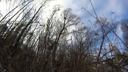 Old dry reed swaying in the wind on background of blue sky