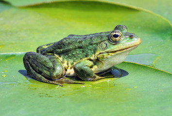Marsh frog on the lake
