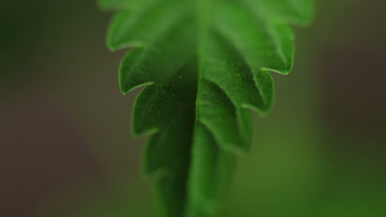 Cannabis leaf detail