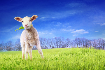 Young lamb in green grass
