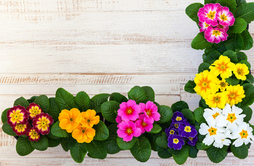 Assorted colorful primula