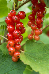 Red currants. Branch with red berries