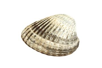 Ракушка моллюска